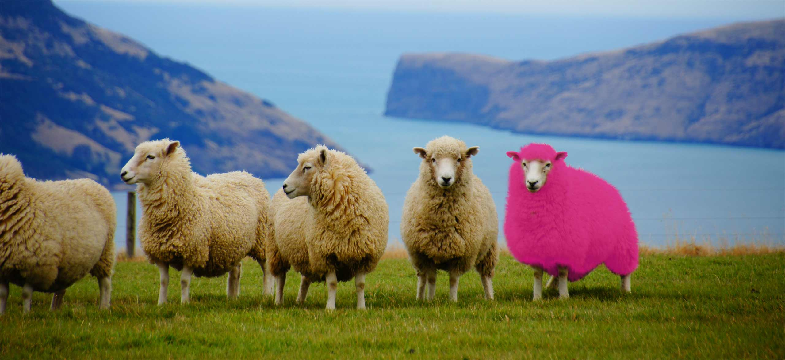 4 white sheep, with 1 pink sheep on the right. They are standing in front of the ocean on a cliff top.